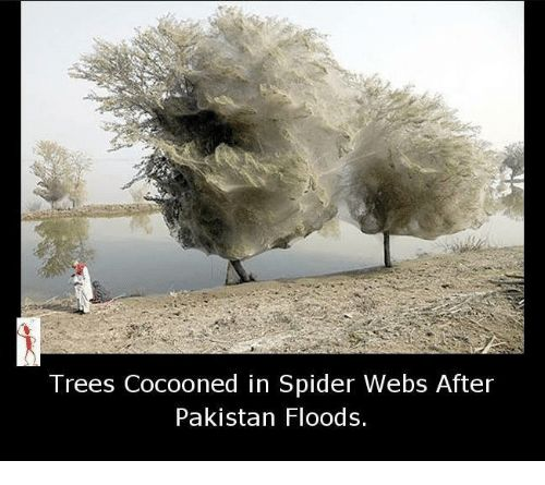 Memes Spider and Pakistan Trees Cocooned in Spider Webs After Pakistan Floods