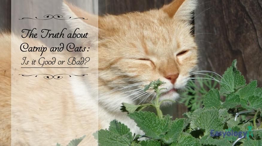 Why Do Cats Like Catnip