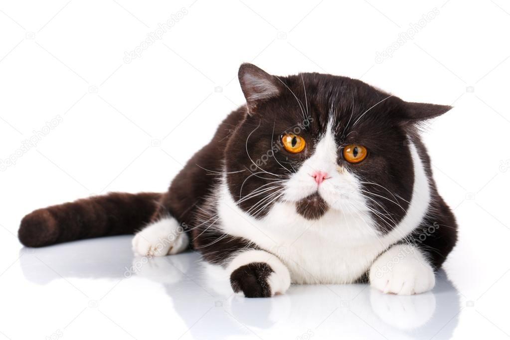 Funny big cat Scottish Straight lying on wite background — Stock