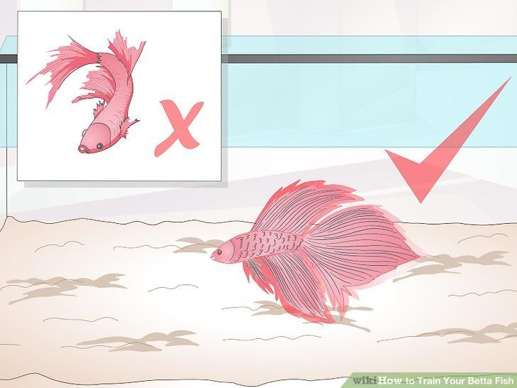 Image titled Train Your Betta Fish Step 2