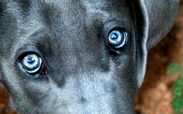 Dogs See in Black and White Closeup of a Dog s Eyes