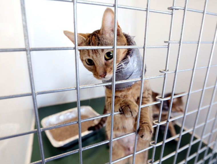 A cat stares from his cage at the Humane Society of St Joseph County wearing a makeshift collar to keep him from messing with his recent surgery stitches