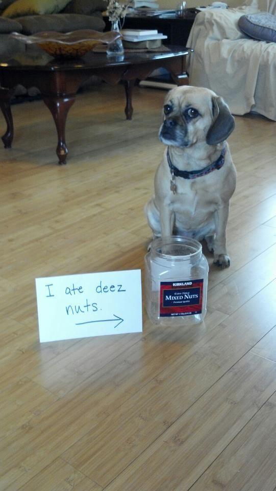 Dog Shaming shame Puggle Bad Malibu