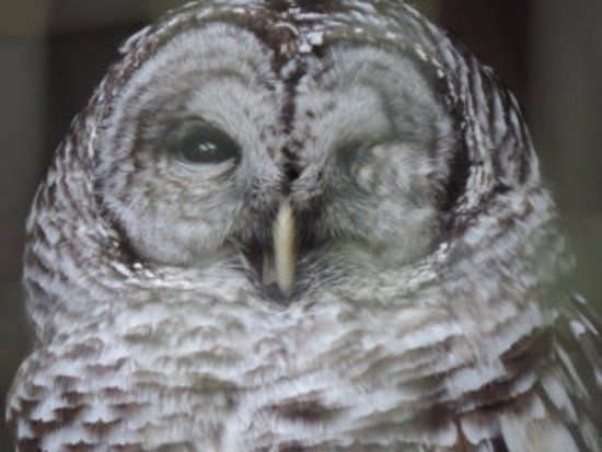 North Island Wildlife Recovery Centre eye the barred owl