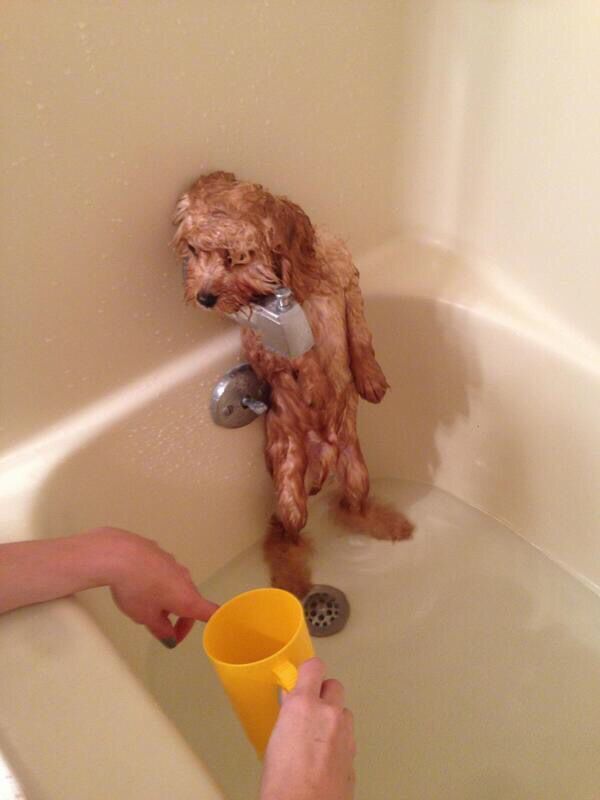 I don t know about this Bath Time Goldendoodles Cockapoo Poodles