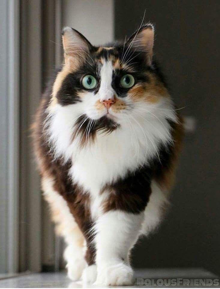 Tri colored cat Black orange and white