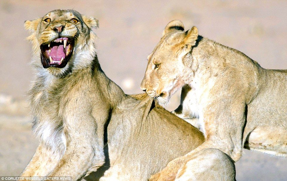 Roar emotion A surprised lion cub feels the pain when it s nibbled on the