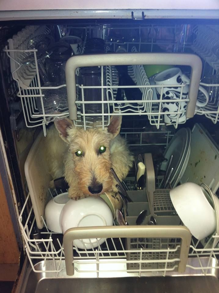 addendum my Scottie loves to sniff the dishwasher I bet this is what he s envisioning when our backs are turned