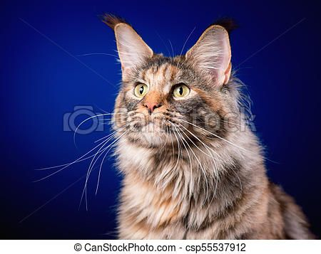 Portrait of Maine Coon cat csp