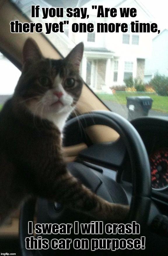 JoJo The Driving Cat
