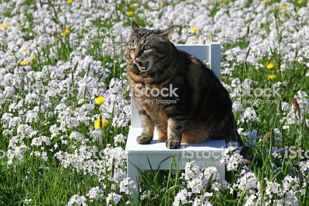 A small fat cat sits with a funny facial expression on a chair in the flower meadow Stock image