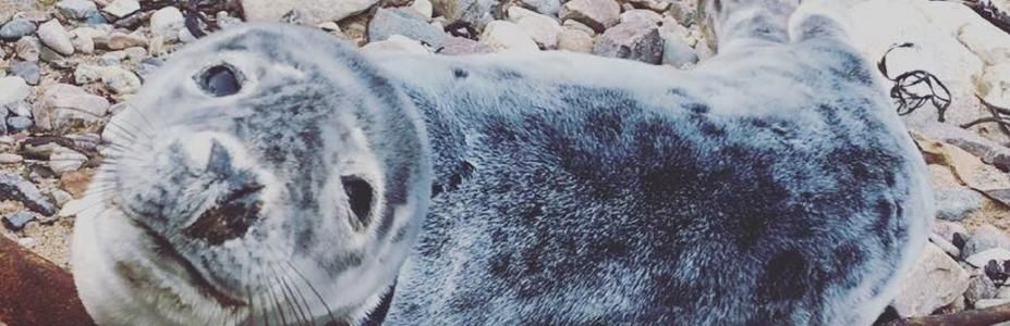 Sami the Grey Seal Pup in Jersey rescued by the JSPCA & BDMLR cared for at the GSPCA