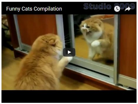 Crazy Cat and Kitten Videos Gifs Memes & Reddit Funny Cats pilation