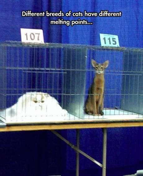 funny cat breeds show melting