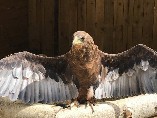 Cotswold Falconry Centre Such funny and knowledgable large bird experts who also put on a