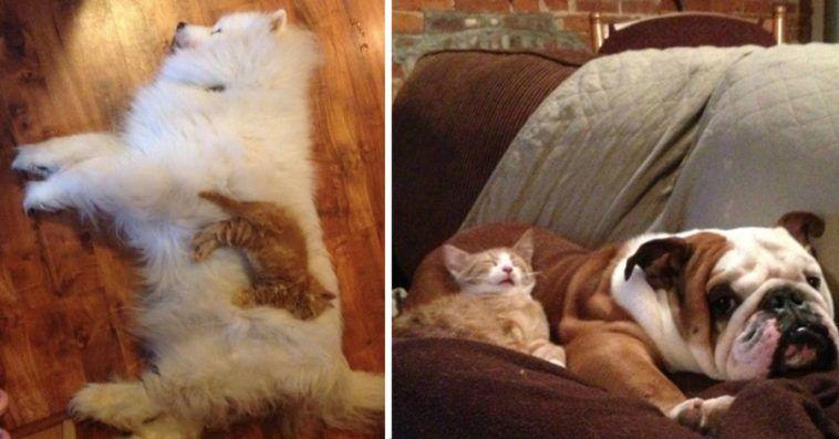 20 funny photos cats sleeping dog friends 758x397