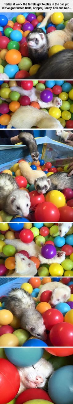 Looks like Malfoy had a birthday party with his friends Funny Ferrets Cute Funny