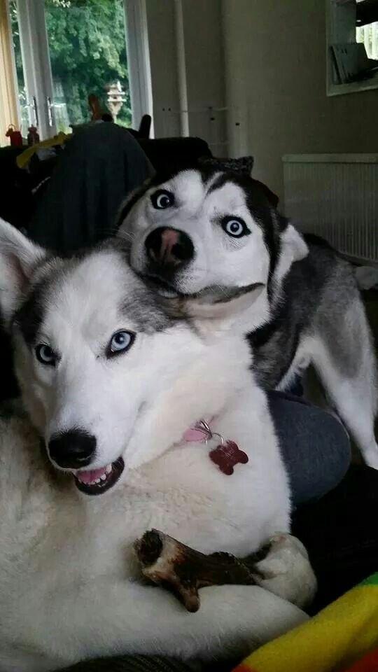Crazy beautiful Huskies
