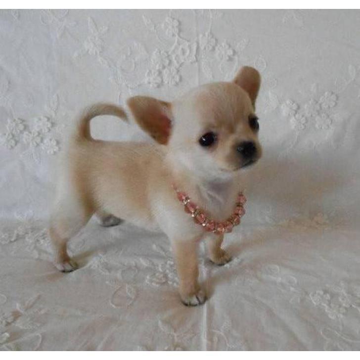 Adorable Teacup Chihuahua Chihuahua Puppies For Sale Cute Chihuahua Small Puppies Cute Puppies