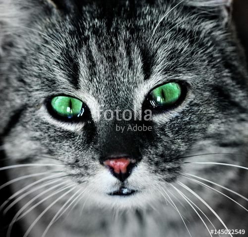 portrait of green eyes funny cat Yes of cats charming