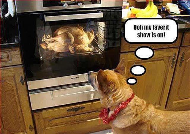Dog watching oven with turkey in it