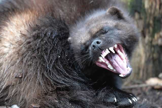 A wolverine is pictured during its first public appearance at the Animal Park of Sainte