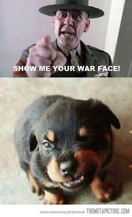 The war face of a Rottweiler puppy rr