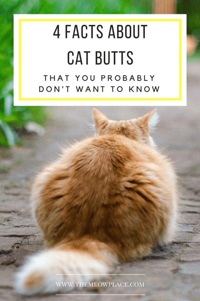 """People seriously """"aww"""" over cat butts but how much do we really know about them Here are 4 facts about cat butts that will keep you up at night"""