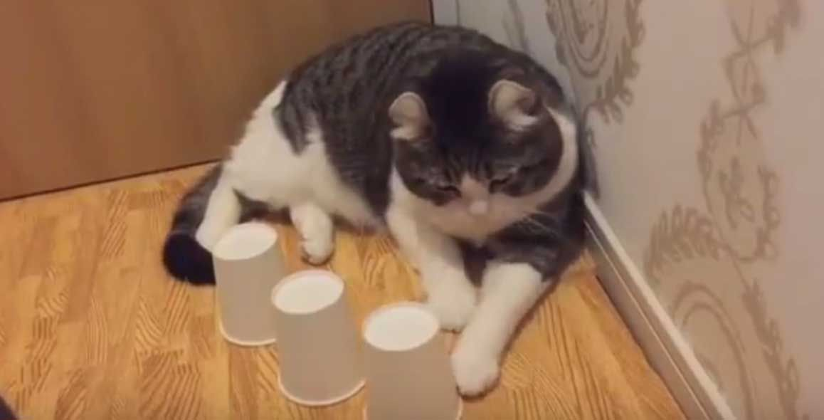 Cute Cat Shows f Incredible Skills With Cup And Ball Game