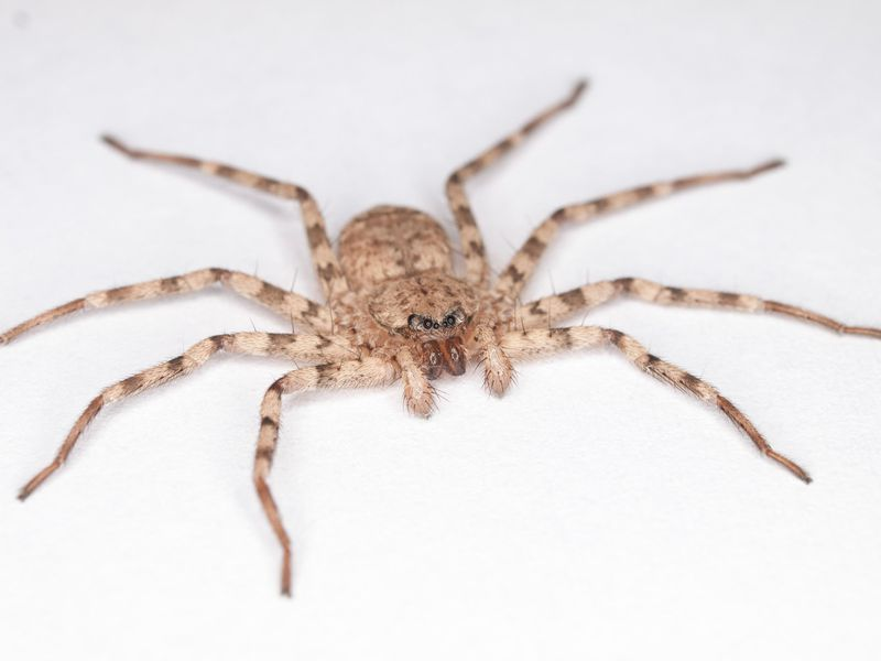 Meet the Spider With e of the Fastest Spins on the Planet