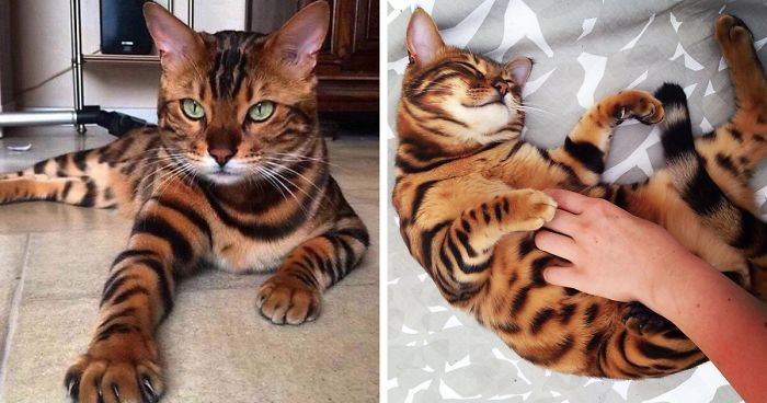 Meet Thor The Bengal Cat With Purrfectly Beautiful Fur