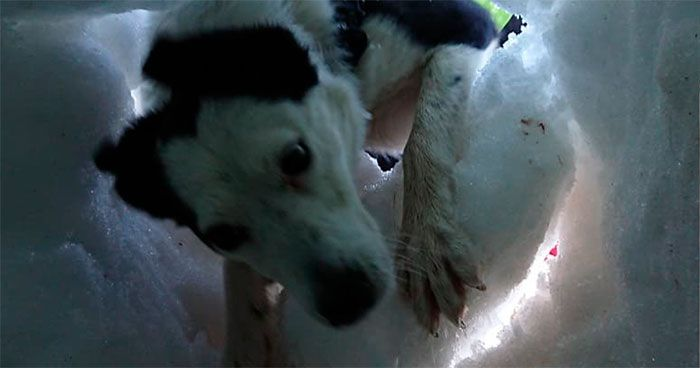 Buried In Snow This Man s A Mountain Rescue Dog Saving Him And It s Lovely