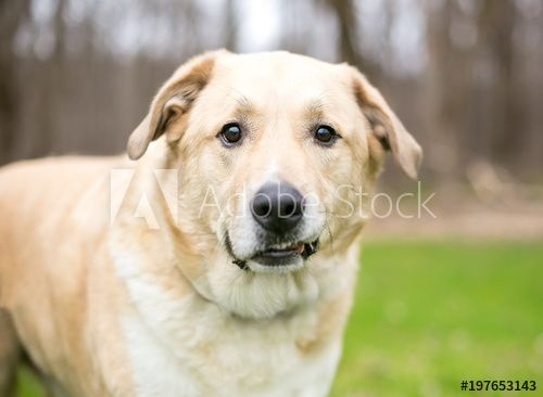 A Labrador Retriever mixed breed dog with a funny expression on its face