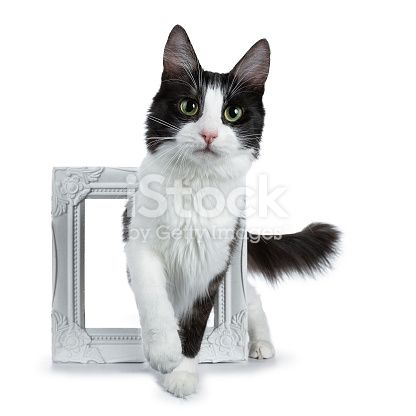 Funny Black Smoke With White Turkish Angora Cat Walking Through A White Frame Isolated White Background Stock & More of Affectionate