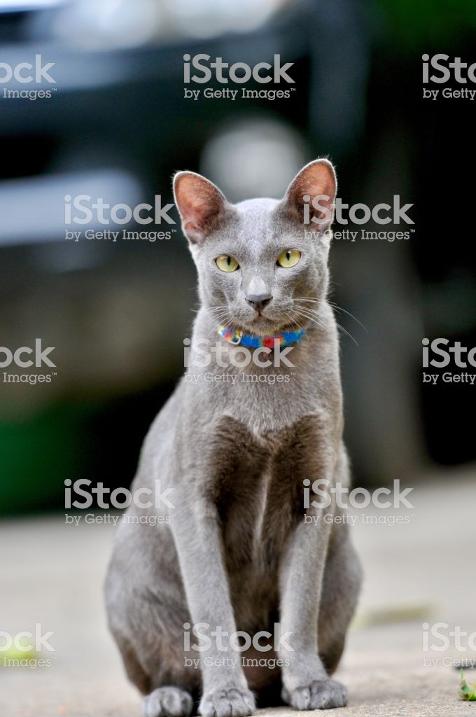 Cat Siamese cat in Thailand very cute funny and smart cat in the