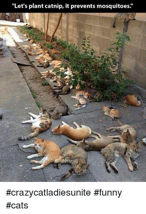 "Memes 🤖 and Catnip ""Let s plant catnip it prevents mosquitoes crazycatla sunite funny cats"
