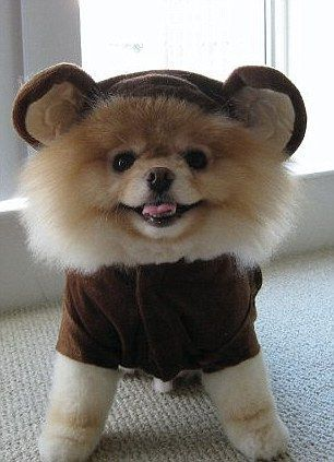 Is this the cutest dog in the world Boo the Pomeranian has millions of fans and his own book Funny Pinterest