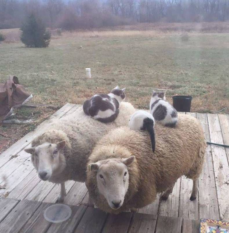 Cats sitting on top of sheep