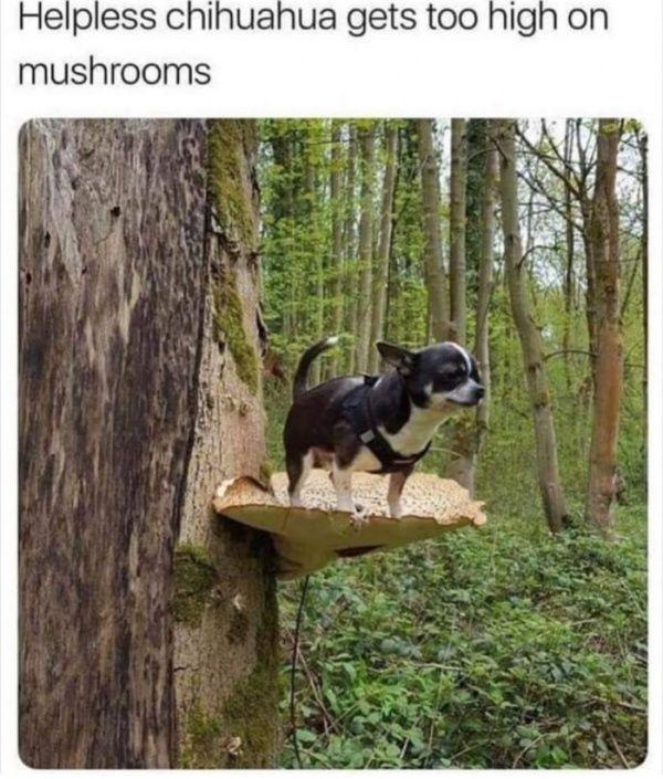 Helpless chihuahua Gets Too High Mushrooms funny meme