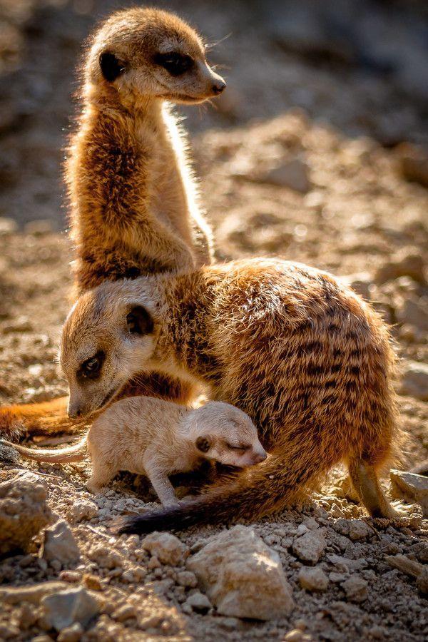 ethereal vistas Meerkats Young family by Thorsten Scheel