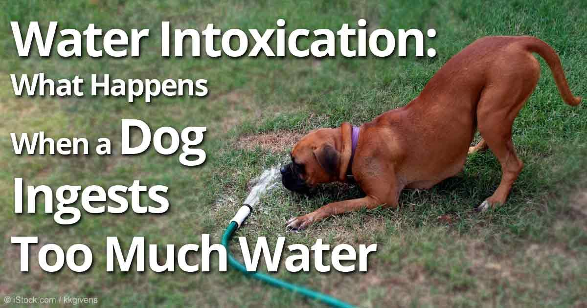 dog water intoxication fb