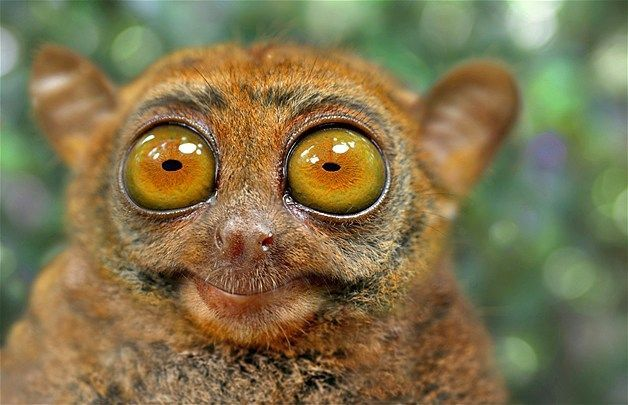 Tarsier Extremely shy animals that live in South Asia this primate has hard to miss eyes that typically measure 16 mm in diameter larger than its entire