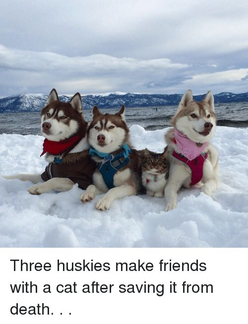Cats Friends and Funny Three huskies make friends with a cat after saving