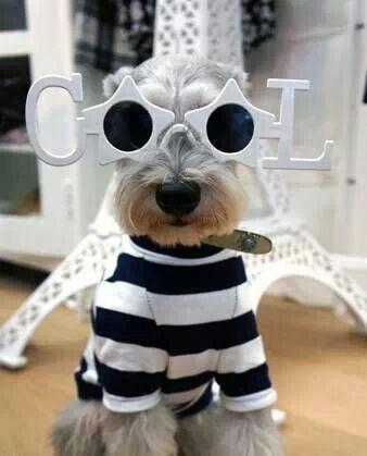 Handsome Schnauser Schnauzers Schnauzer Puppy Miniature Schnauzer Pet Puppy Scottish Terrier