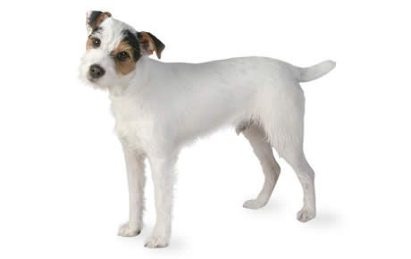 Jack Russell Terrier Dog Breed Information Characteristics & Facts – Dogtime