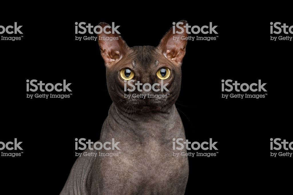 Funny Sphynx Cat on isolated black background Stock image