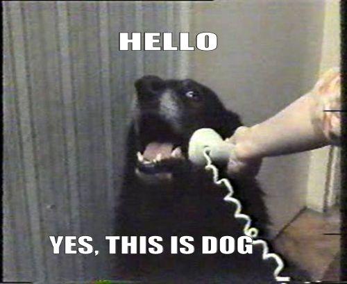 HELLO YES THIS IS DOG Labrador Retriever photo caption dog dog like mammal dog breed