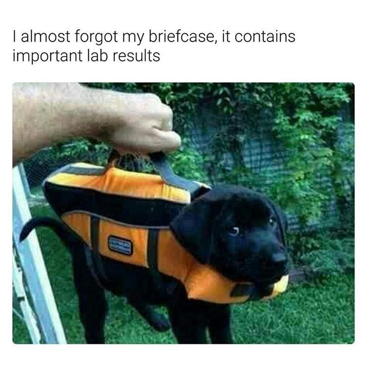Funny memes Dog is my briefcase Black labrador puppy being carried but his handler