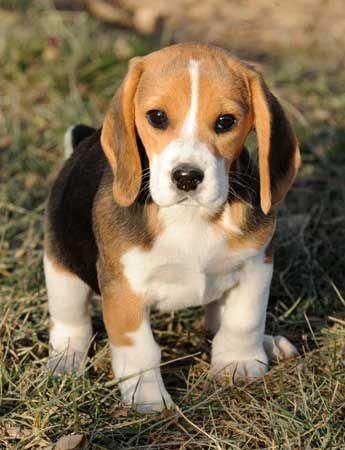 Patches the Mini Beagle who barks at falling leaves and other little things KaufmannsPuppy beaglepups