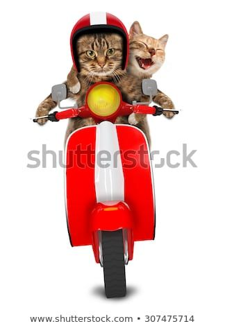 Two funny cats are driving a moped Humorous theme